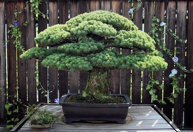 391-Year-Old Bonsai Tree Survived Hiroshima Bombings And Keeps Growing