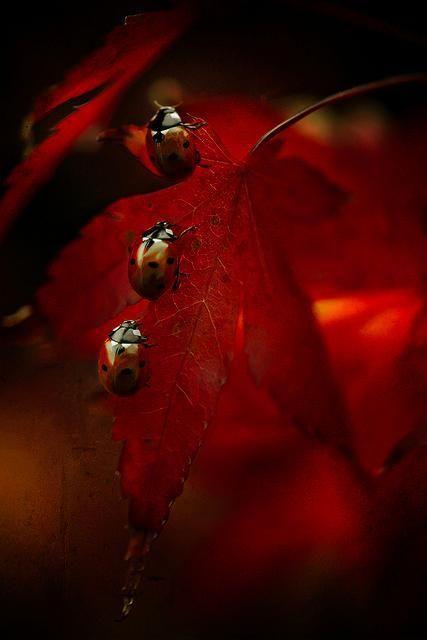 lady bugs Beautiful. Incensewoman