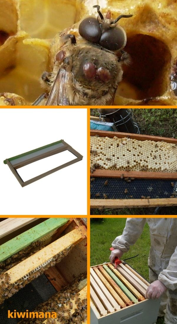 One Drone Brood Management frame that is used to to reduce varroa mites by culling drones from these specially built frames. via @kiwimana