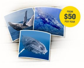 Adopt a whale in North America - Only $50 for a whole year!