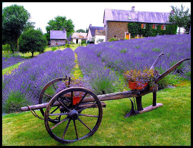 Here's a Lavender Farm in France, Darling, just like we have. I think our vines are gorgeous too. When do you think we can try a glass of vin.......