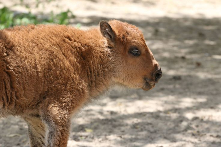 """Say it with us - ahh!  We welcomed a female bison, Makani which means """"Wind"""". The bison calf was born on May 21!"""