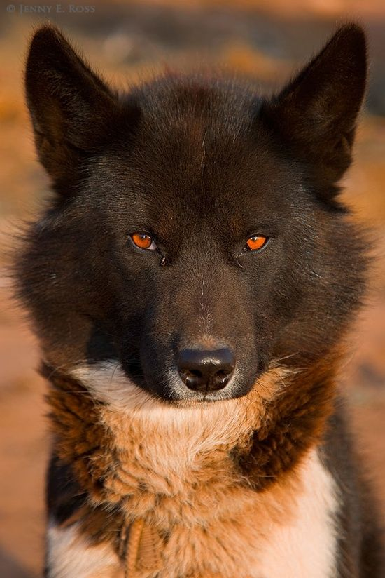 Beautiful eyes of Gorgeous Greenland Dog .. click on pic to see more