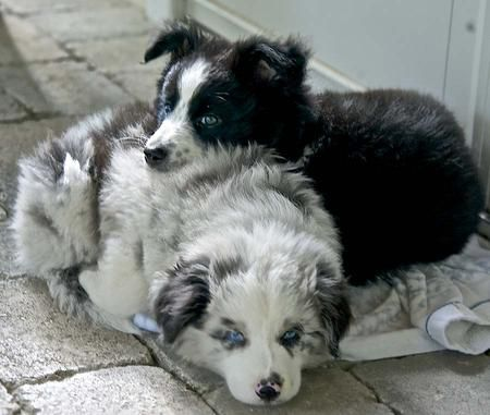 Scout the Border Collie Mix -This is just so sweet! Scout with her cousin Angus!