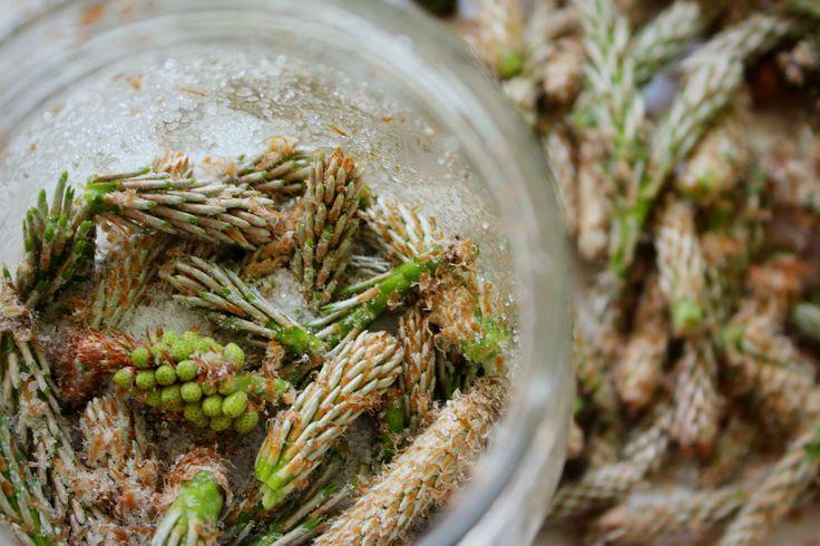 Syrop z młodych pędów sosny