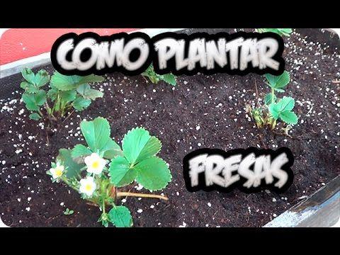 ¡No compres más fresas! Esta es la manera de plantarlas en casa | Upsocl