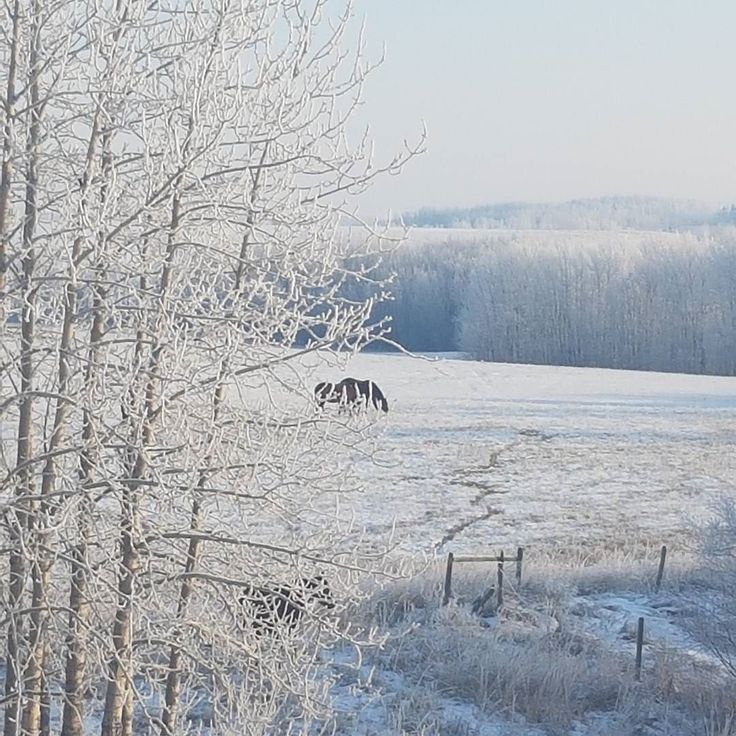 It's a frosty morning for horses and people today. But stunningly beautiful! #winterbeauty #albertacanada