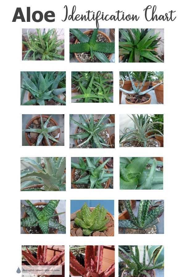 Aloe Succulent Plants Identification Chart In 2020 Aloe Plant Planting Succulents Succulent Landscaping