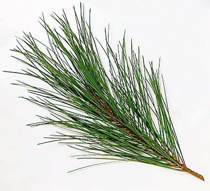 Stock Image of Pinus pinaster (Maritime Pine) - DK Images