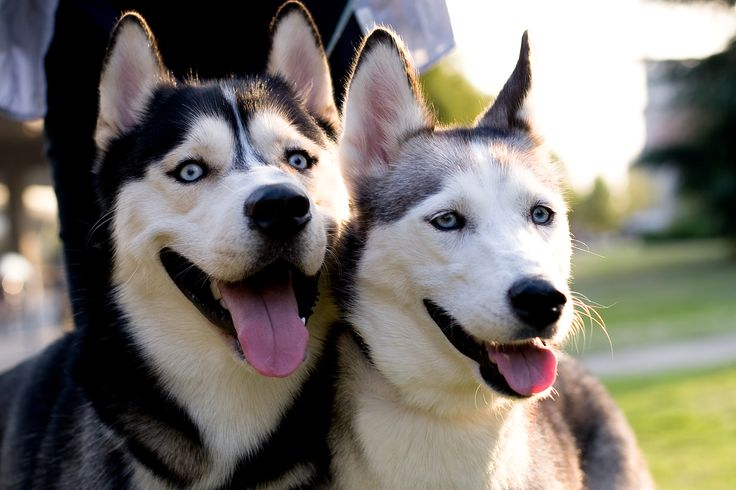 #Siberian #Husky #dogs # Nano&Nico