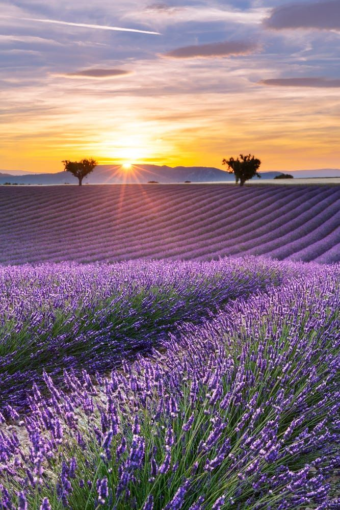 Vertical panorama of a lavender field at sunset by Aurélien Laforêt on 500px