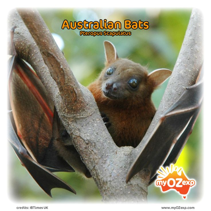 Australian Bats  Read more at: www.myozexp.com/single-post/2017/04/04/Australian-Bats  #picture of the day #animals #bats #flying foxes #mammal #tropical #tuesday #myOzexp