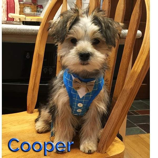 Bow Tie Blue Small Dog Harness Dog Harness Dogs Dog Bowtie