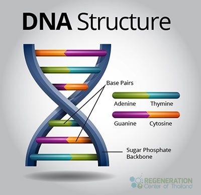 Deoxyribonucleic acid (DNA) is a molecule that encodes an organism's genetic blueprint. Today, this molecule is called DNA. Nearly all of the cells within a single organism include exactly the same DNA - http://stemcellthailand.org/dna/