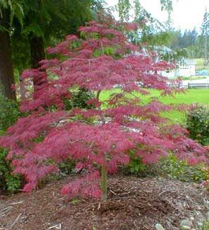 Tamukeyama Weeping Laceleaf   Acer palmatum Dissectum 'Tamukeyama'  This tree holds its red color throughout the summer and does very well in full sun.  Spring color is crimson and the fall color is scarlet.  Height 8-10' x Width 10-12'  Zones 6-8