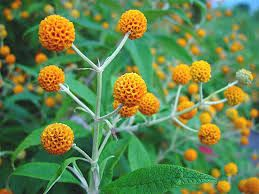 Google Image Result for http://www.southlancsflora.co.uk/Trees%20&%20Bushes%20Pics/Buddleja-globosa-4.jpg.  Alternative to traditional buddleia - attracts butterflies. crosscommonnursery.co.uk