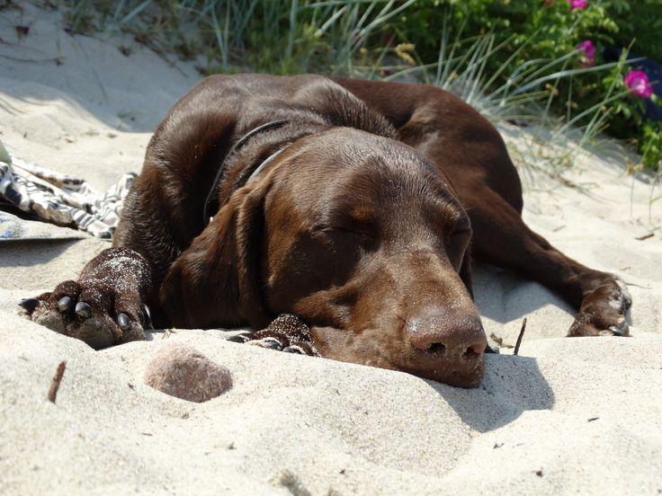 german shorthaired pointer - so sleepy....