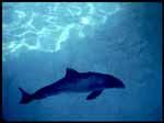 Petition - please sign The vaquita, a rare and completely unique porpoise living in the water at the northernmost point of the Gulf of California, is edging closer and closer to complete extinction. It is estimated that if fishing practices that employ the use of gillnets continue, then the rare and beautiful vaquita will be extinct in the next several years. https://forcechange.com/9513/save-the-critically-endangered-vaquita-porpoise-from-extinction/