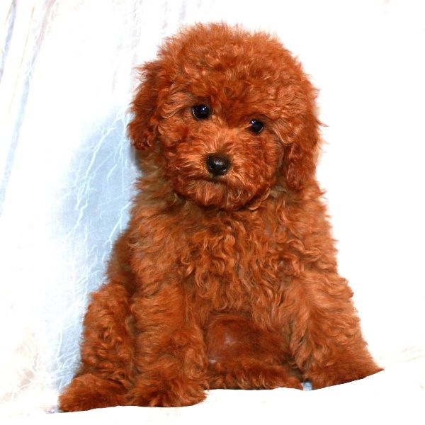 15 Best Poodle Haircuts Images On Pinterest