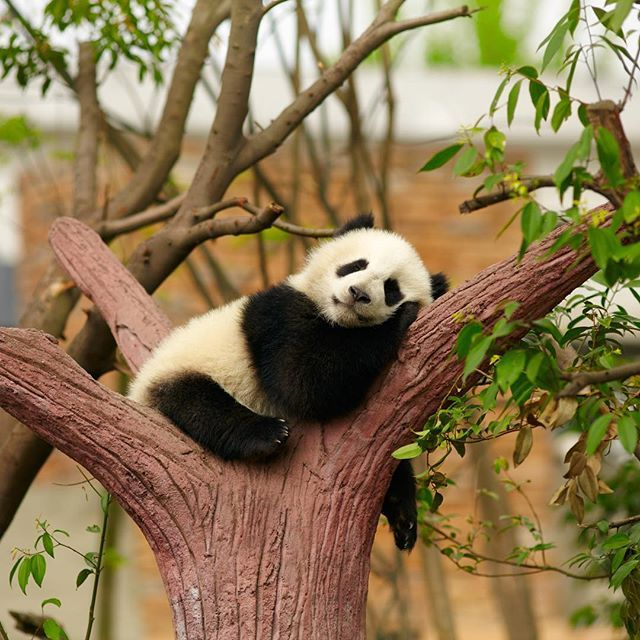 There are about 1,600 #pandas left in the wild. More than 300 pandas live in #zoos and breeding centers around the #world, mostly in China.  #ecospire #animallovers  #humane #wild #safety #environment #green #beauty #bamboo #picoftheday #photo #pic #photography #photooftheday #instagood #instadaily #change #endangered #animallover #animallove #animalrights #animalphotography #wow #love #instapic #responsibility