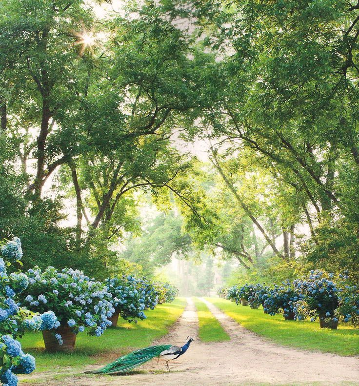 The Georgia estate of Furlow Gatewood is surrounded with oversized pots of hydrangeas.: