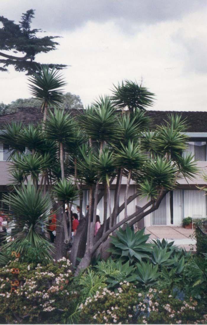 As 25 melhores ideias de yucca gloriosa no pinterest for Bouture yucca exterieur