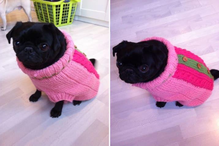 El diminuto perro en un muy diminuto pero cómodo suéter.