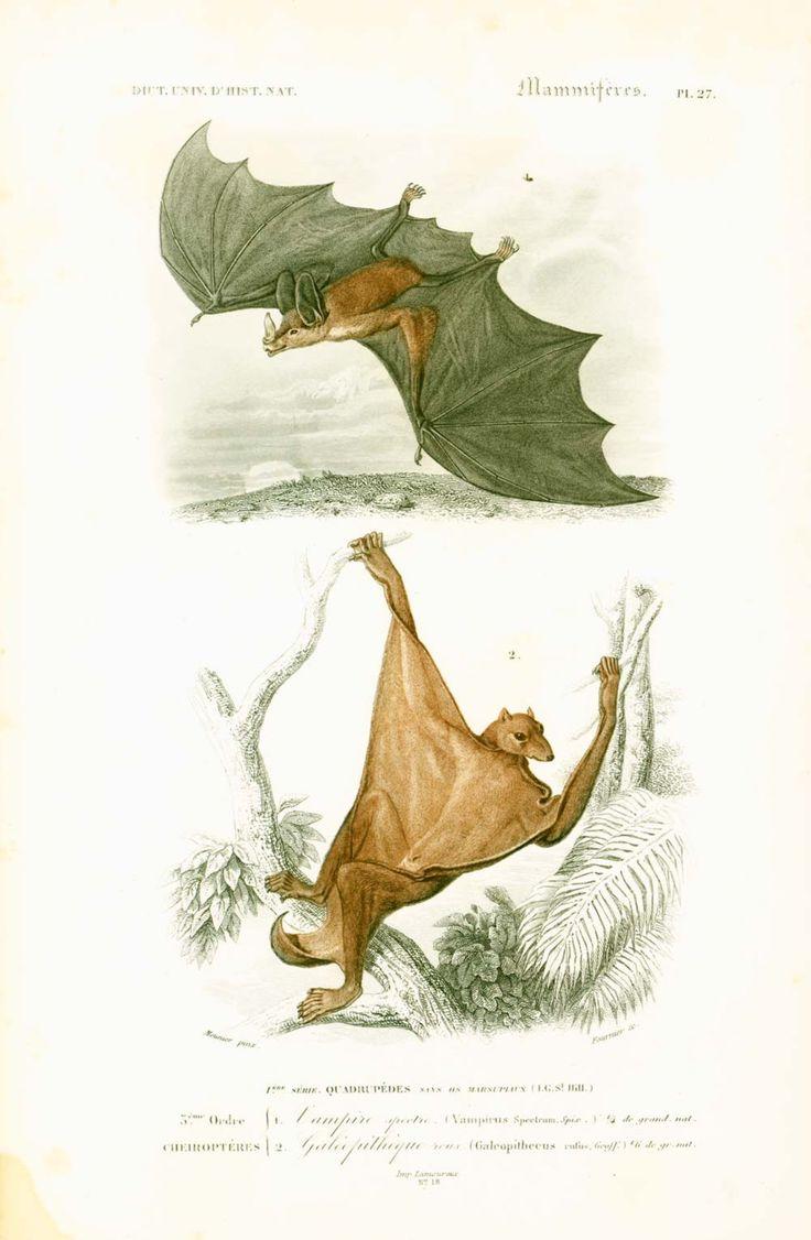 1849 Vampire Chauve-souris et Galeopithèque, Orbigny, Lithographie originale, Dictionnaire Universel Histoire Naturelle de la boutique sofrenchvintage sur Etsy