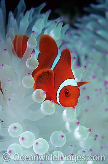 Spine-cheek Anemonefish Tomato Clownfish, I know these fish are not art that I'm pinning but I want to paint them
