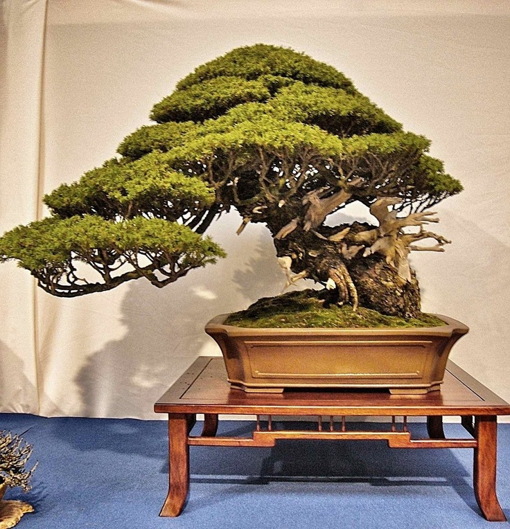 Bonsai bonsai pinterest bonsai plants and indoor bonsai for Bonsai indoor