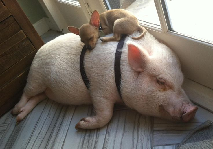 Just a pig and a Chihuahua taking a nap together...
