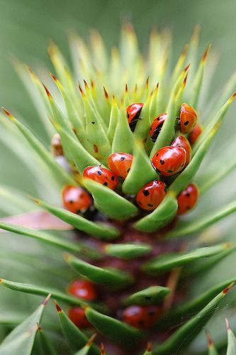 Ladybugs on a succulent plant. Wow, I love to think about all those ladybugs eating whatever was infesting this plant. So much better than pesticides!