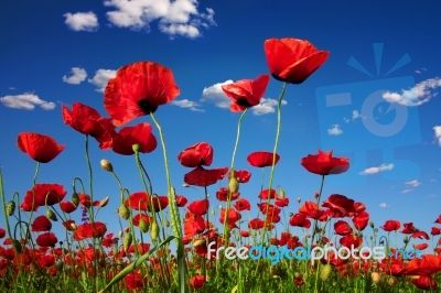 Poppies from FreeDigitalPhotos - free web res images and low cost royalty free print res