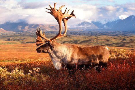 Caribou In Denali I Alaska Travel Photos