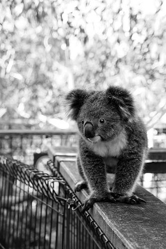 "Baby Koala awww! But in the words of my sister, ""They can be mean little f**kers!"""