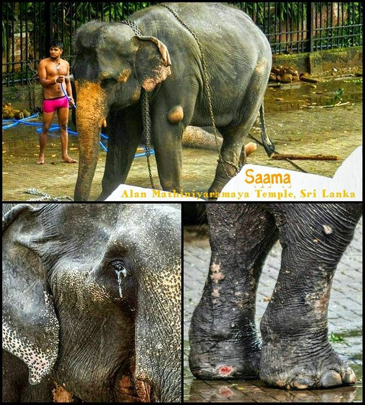 PETITION, PLEASE SIGN AND SHARE! SAAMA THE ELEPHANT IN DESPERATE NEED OF PROPER VETERINARY CARE - The Petition Site