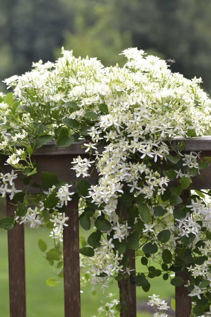 Sweet Autumn Clematis draped over deck railing. #ガーデン #フラワー #庭 #ガーデニング