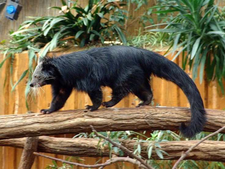 - * Binturong * - The body of the binturong is long and heavy and low on the legs. It has a thick fur of strong black hair. The binturong, also called a bearcat, is found in South and Southeast Asia -