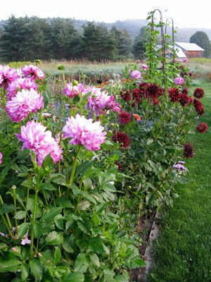 12 easy-care favorites for cutting gardens