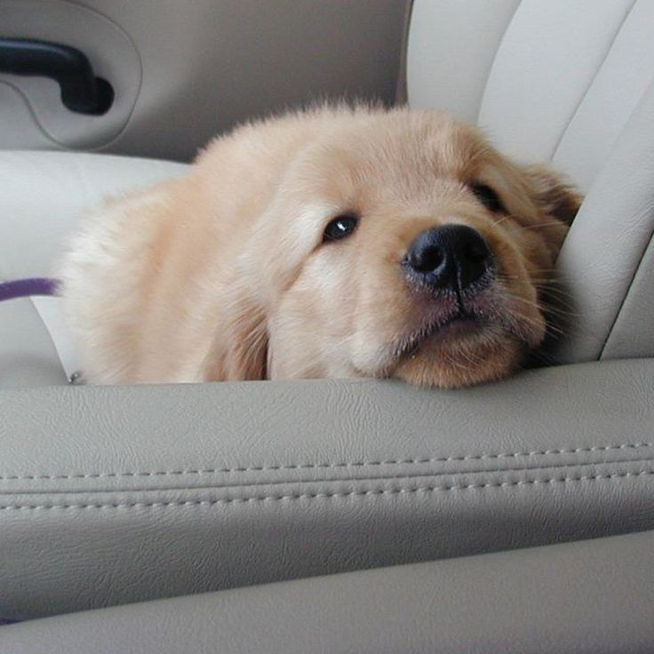 Eight Reasons Why Golden Retrievers Are The Best Dogs