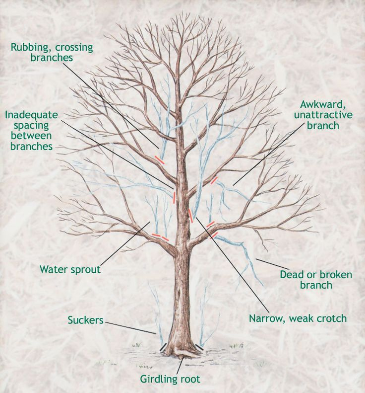 When to Prune Trees- wait until the coldest part of winter has passed, but before vigorous growth starts in early spring.February to March.