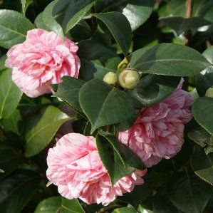 Las 25 mejores ideas sobre arbustos de hoja perenne en for Arbustos de hoja perenne resistentes al frio