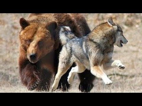 Discovery channel animals documentaries - Wolves vs Grizzly Bears - Nature documentary Ani - YouTube