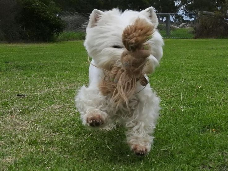 Hi Fwends! it's #friyay!  Sowwy I carnt see yoo  me wope is in da way !  Wanna play? . . #fridayfunday #venerdi #lacyandpaws  #dog_features #perro #actionshot #dogoftheday #sendadogphoto #feature_do2 #tgif  #westiegram #cane #gwammasfarm #actionphotography #melbourneiloveyou #dogsofinstagram #dogsofig #westhighlandwhiteterrier #showcasing_pets #вести #вестики #вестхайлендвайттерьер #rope #pupshow #puppytales by bbgirrrldog