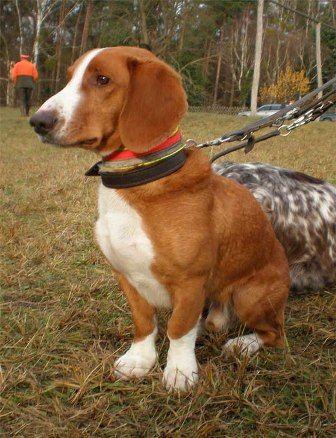 Westphalian Dachsbracke / Westfälische Vestfalski Brak jazavičar #Puppy #Dogs