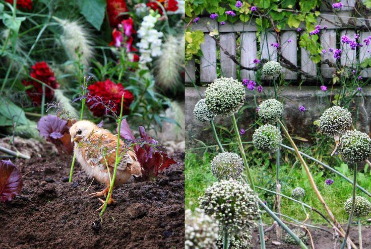 Kyckling / Mandelmanns Trädgårdar / Baby Chicken - Evelinas Ekologiska http://www.evelinasekologiska.se/