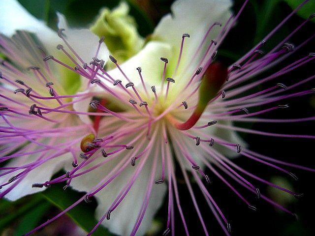 Capperi! Che bel fiore.   Samudaya