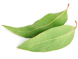 Eucalyptus oil is one of the best herbal products that you can store at home. Would you like to know how to make eucalyptus oil by yourself? In the following article, we will give you the ways by which you can make this happen.