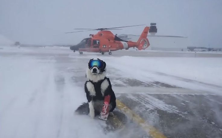 Check out how this Border Collie keeps a Michigan airport safe.