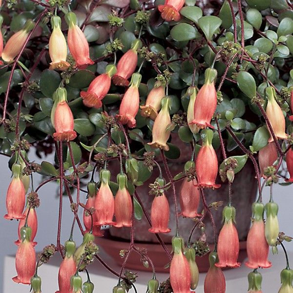 Chandalier Plant Kalanchoe Manginii Cacti Amp Succulents
